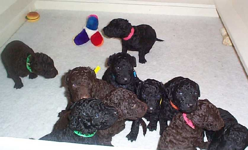 Raising A Clicker Puppy The Litters Early Life Week 4